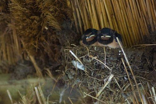 Swallows, Boy, Chicks, Plumage, Nest, Dissatisfied