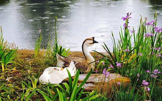 Goose, Duck, Birds, Painting, Art, Garden, Park