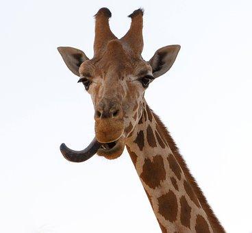Giraffe, Djungle, Animals, Happy, Smile, Hungry, Al Ain