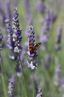 Six-spot Burnet Moth, Lavender, Moth, Insect, Nature