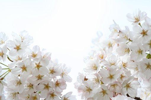Cherry Blossom, Sakura, Spring, Bloom, Blossom, Nature