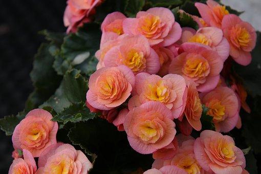 Begonia, Flowers, Pink, Yellow