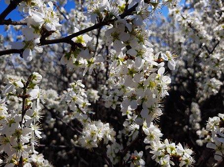 Blackthorn, The Bush, Teren, Bloom, Bush, Nature