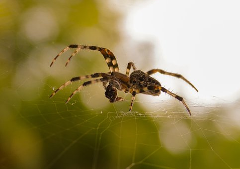 Spider, Web, Cobweb, Wasp Spider, Close Up, Araneus
