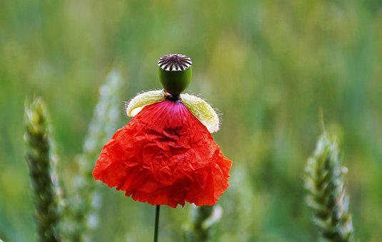 Poppy, Doll, Wolf, Red, Tutu, Flower, The Header Of The