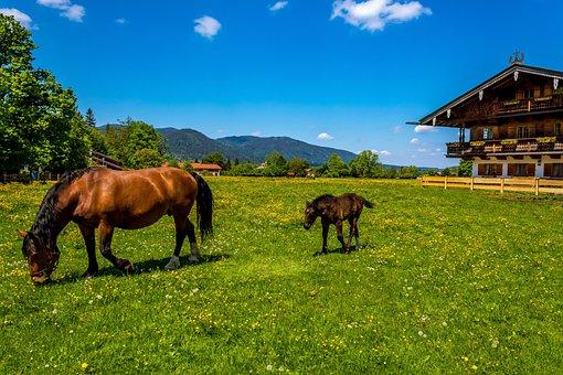 Horse, Brown, Foal, Bavarian Cold Blood, Farm