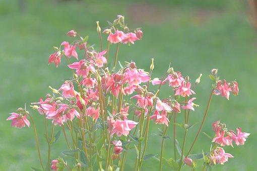 Columbine, Wild Flower, Plant, Hahnenfußgewächs, Bees