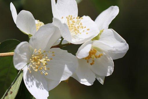 Jasmin, Flowers, White, Bauer Jasmin