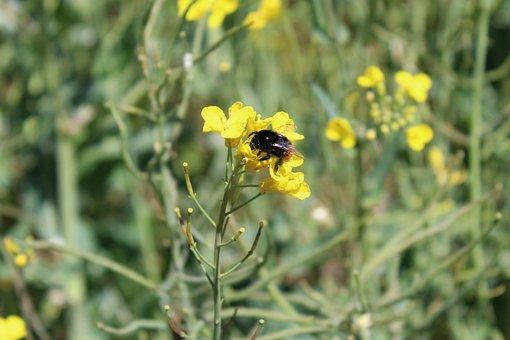 Oilseed Rape, Field, Insect, Bee, Hummel, Landscape