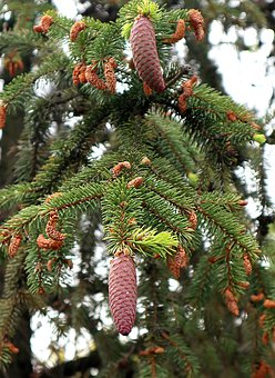 Spruce, Picea, Needles, Young Pine Cones