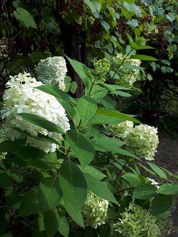 Hydrangeas, Garden, Hydrangea, Flowers, Summer, White