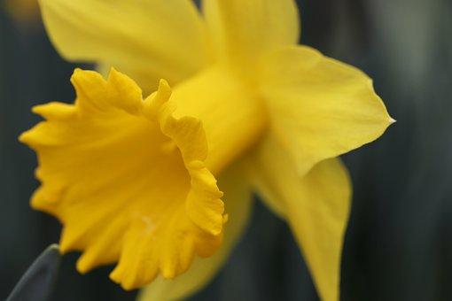 Narcissus, Daffodil, Calyx, Blossom, Bloom, Yellow