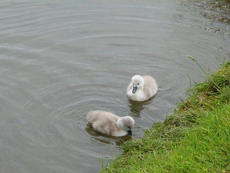 Swan, Cygnets, Chicks, Cute, Fluffy, Grey, Bird