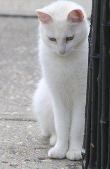 Cat, White Cat, Standing Kitten, Cat By Bamboo