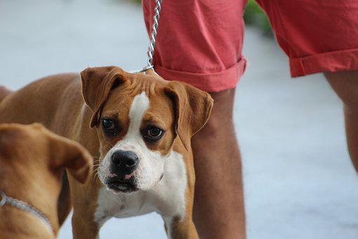 Boxer, Curiosity, Dog Competition, Dog Obedience