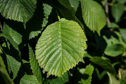 Leaves, Green, Structure, Leaf Structure, Elm