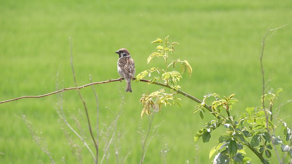 Eurasian Tree Sparrow, Passer Montanus, On A Twig