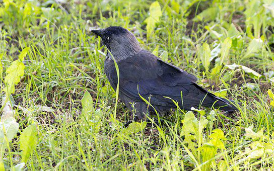 Bird, Crow, Grass, Plants, Nature, Fauna, Flora