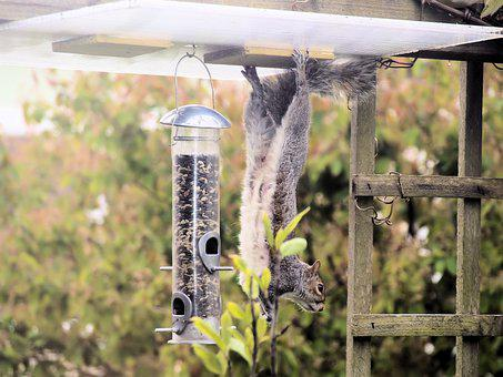 Squirrel, Hanging, Acrobat, Animal, Nature
