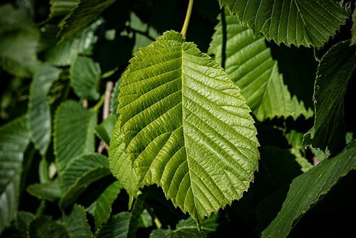 Leaves, Green, Structure, Leaf Structure, Tree