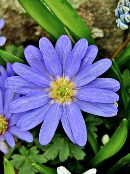 Anemone Blanda, Blue Shades, Blue Spring Anemone