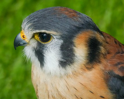 Red-footed Falcon, Falcon, Falconry, Wildlife, Bird