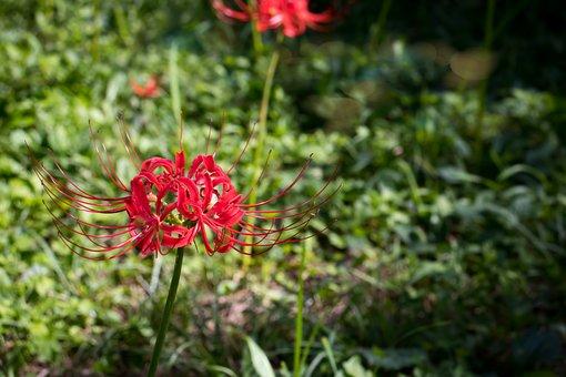 Red, Flower, Elegant, Attractive, Pink, Leaves, Flowers