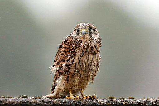 Young Hawk, Falcon, Bird Of Prey, Raptor, Freilebend