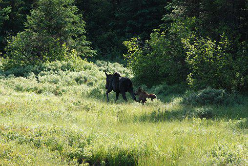 Moose, Moose And Cow, Family, Follow Me, Into The Woods