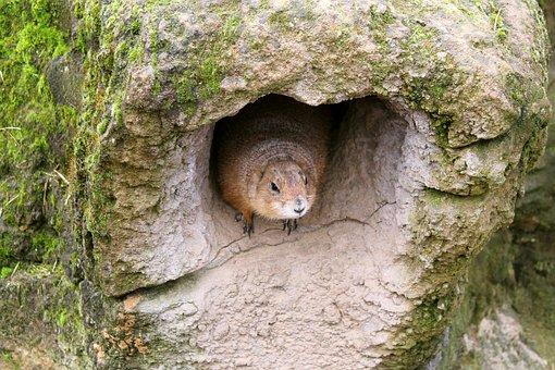 Prairie Dog, Animal, Rodent, Nature, Nager, Mammal
