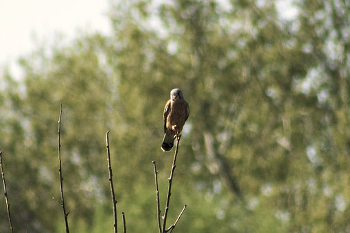 Red, Red-Footed Falcon, Predator