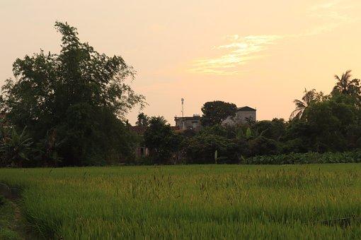 Paddy Field, Silk, Rice Fields, Field, Tree