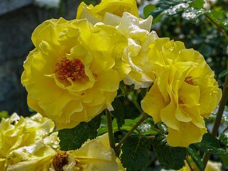 Rose, Yellow, Bush, Corrugated
