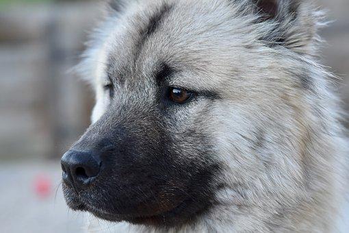 Dog, Bitch, Portrait Dog Eurasier, Dog Eurasier