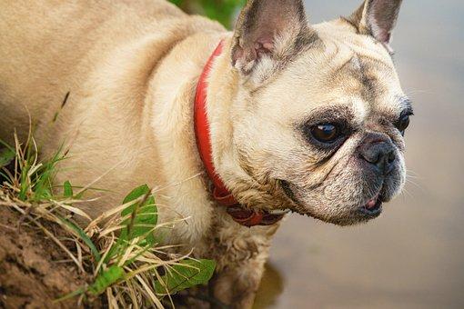 Dog, French Bulldog, Nature, Bulldog, Portrait, Animal