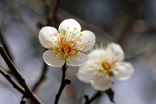 Plum, Plum Flower, Winter, Nature, Clean, Korea, Flower