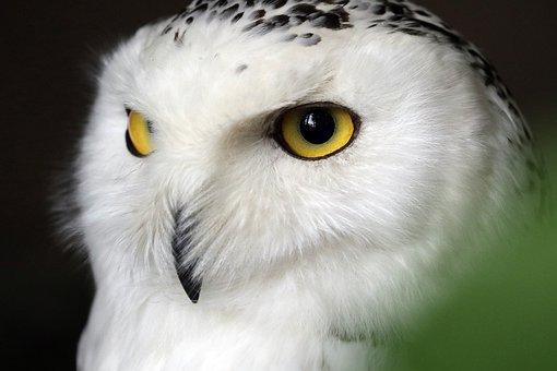 Snowy Owl, White, Owl, Bird, Animal, Feather, Raptor