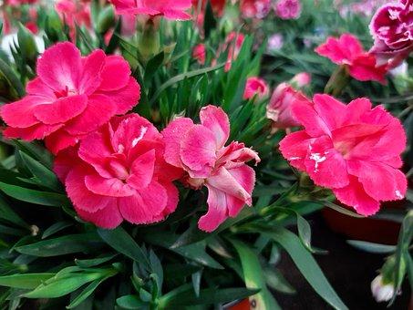 Carnation, Precious Elke, Red, Bloom, Early Bloomer