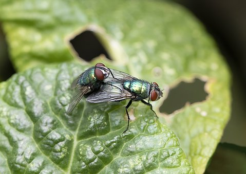 Greenbottle, Blowfly, Pair, Mating