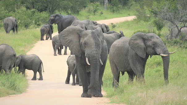 African Elephants, Herd, Approaching, On The Road