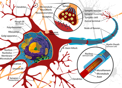 Drawing, Nerve Cell, Neurone