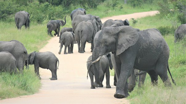 African Elephants, Herd, On The Road