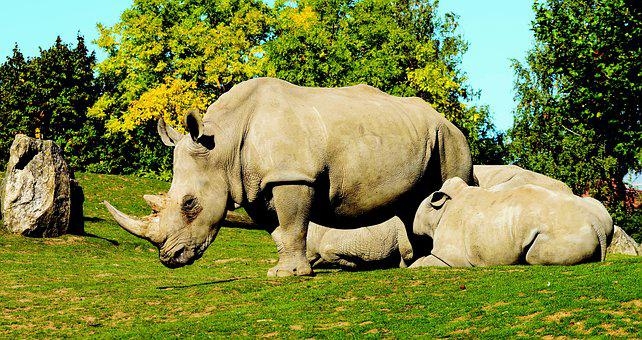 White Rhinoceros, Ceratotherium Simum, Animals