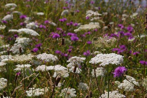 Meadow, Wild Flower Meadow, Blossom, Bloom, Bloom