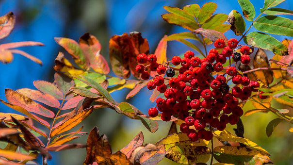 Nature, Decline, Autumn, Leaf, Berry, Red Berries