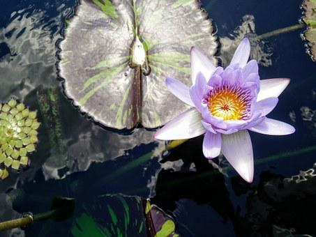 Lotus, Lily, Pad, Water, Nature, Flower, Blooming