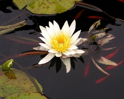 Water, Lily, Koi, Pond, Nature, Flower, Water Lily