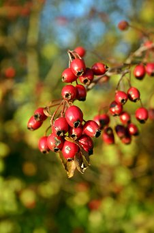 Hawthorn, Fruits, Red, Berries, Crataegus, Roses
