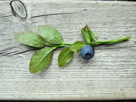 Blueberry, Blueberry Twig, Plant, Wild Berry, Twig