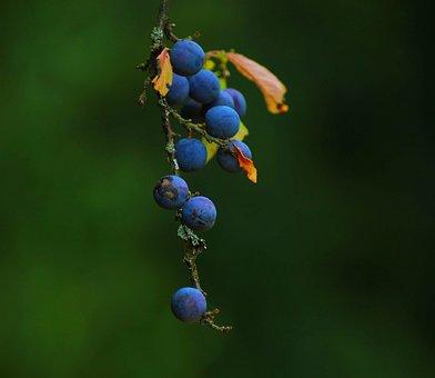Macro, Plant, Nature, Spring, Garden, Sloe, Blackthorn